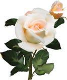 La crème légère s'est levée avec la fleur et le bourgeon sur le blanc Image stock