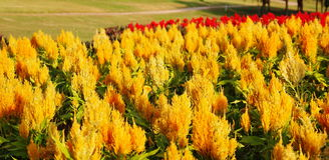 La crête fleurit, Chainese Woolflower, fleur de laine Photos libres de droits