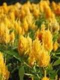 La crête fleurit, Chainese Woolflower, fleur de laine Images libres de droits