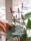 La cría de plantas interiores El jardinero de sexo femenino guarda la flor del Anthurium Fotos de archivo libres de regalías