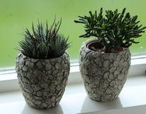 La crassulaceae pianta davanti alla finestra fotografia stock libera da diritti