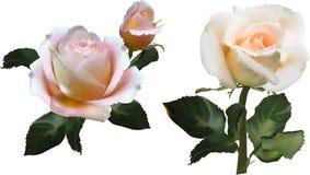 La crema ligera subió dos flores con las hojas oscuras imagenes de archivo