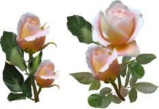 La crema ligera subió dos flores con las hojas verdes imagenes de archivo
