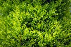 La crescita del pino va, fondo di struttura della natura Immagine Stock Libera da Diritti