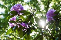 La crescita di fiori porpora sopra pensa i rami sparati contro la luce solare Immagine Stock