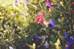 La cresta de gallo florece en el jardín en tono del vintage Imágenes de archivo libres de regalías