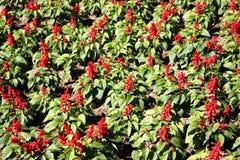 La cresta de gallo o las lanas florece, el campo de flores rojo hermoso foto de archivo libre de regalías