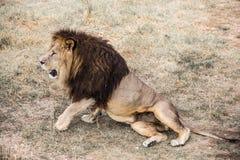 La crinière du lion puissant photo libre de droits