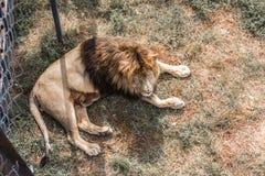 La crinière du lion puissant image libre de droits