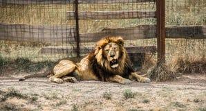 La crinière du lion puissant image stock
