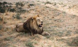 La crinière du lion puissant images stock