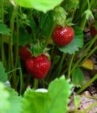 La croissance des fraises et des feuilles Photo libre de droits