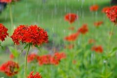 La croix maltaise fleurit sous des gouttes de pluie fleurissant à l'arrière-plan vert Photo libre de droits