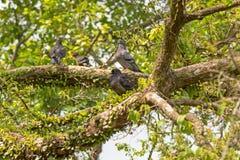 La cuadrilla de paloma, roca se zambulló los pájaros que agrupaban en rama de árbol en Singa Imagen de archivo libre de regalías
