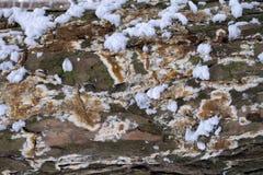 La cubierta de la corteza de árbol con el molde y musgo y nieve texturizó el fondo Foto de archivo