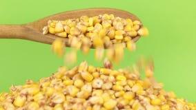 La cuchara de madera vierte maíz de los granos en el montón del maíz en una pantalla verde almacen de video