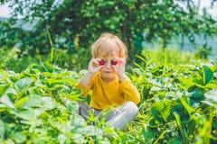 La cueillette caucasienne heureuse de petit garçon et les fraises de consommation sur soient Photographie stock