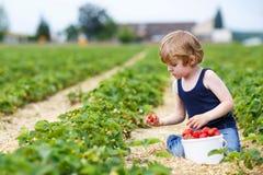 La cueillette de petit garçon et les fraises de consommation sur la baie cultivent Photos stock