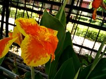 La cultivar di hybrida di Canna con i fiori arancio ha chiazzato il rosso nel centro Immagini Stock Libere da Diritti