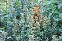 La culture de quinoa se développe à la ferme Photos stock