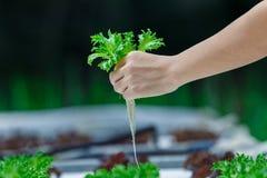 La culture hydroponique, légumes moissonnés frais organiques, agriculteurs remet tenir les légumes frais photos libres de droits