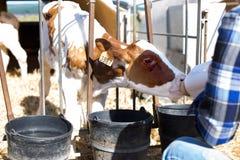 La cura della donna alimenta il vecchio vitello di due settimane dalla bottiglia con il manichino fotografia stock