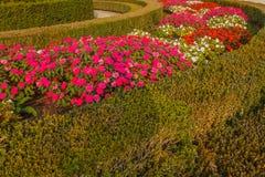 La curva variopinta della Nuova Guinea fiorisce in un giardino Immagine Stock