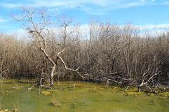 La dégradation de forêt de palétuvier Image stock