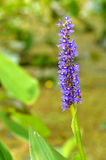 La dactylorhiza comunemente ha chiamato l'orchidea di palude o ha macchiato l'orchidea fotografia stock