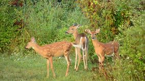 la daina dei cervi fawns il whitetail stock footage