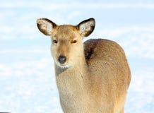 La daina dei cervi nell'inverno su una neve bianca Immagini Stock Libere da Diritti