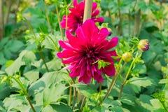 """La dalia """"vescovo di Llandaff """"è una cultivar perenne tenera tuberosa con fogliame colorato scuro produce un contrasto sbalorditi fotografia stock"""