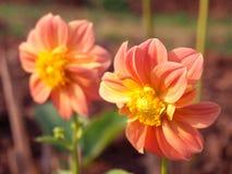 La dalia anaranjada Imagenes de archivo