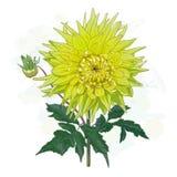 La dalia de la flor del amarillo de la imagen Imagenes de archivo