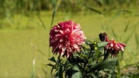 La dalia fiorisce la fioritura Fotografia Stock Libera da Diritti
