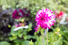 La dalia florece en jardín a lo largo de una trayectoria de la hierba Fotografía de archivo