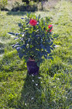 La dalia florece en maceta en hierba del jardín del verano Imagen de archivo