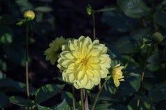 La dalia gialla sta fiorendo nel freddo, arboreto immagine stock