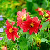 La dalia, manosea la abeja en una flor Céntrese lo en las flores bajo Imágenes de archivo libres de regalías