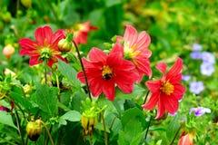 La dalia, manosea la abeja en una flor Céntrese lo en las flores bajo Foto de archivo libre de regalías