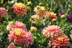 La dalia rosa fiorisce il primo piano Fotografia Stock