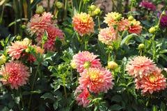 La dalia rosa fiorisce il primo piano Immagini Stock Libere da Diritti