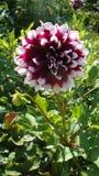 La dalia rosada es una flor, es famosa por belleza del deslumbramiento, excita la pasión y empuja en actos enojados fotografía de archivo