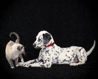 La Dalmatie essayant d'effectuer un ami Photo stock