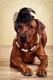 La dame de Rhodesian Ridgeback s'est habillée en collier de chapeau noir et de perle Image libre de droits