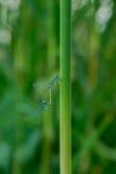 La danse de cour des libellules Image stock