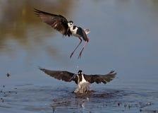 la danse de l'échasse Noir-à ailes Images stock