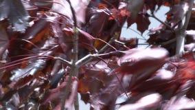 La danse de plan rapproché des feuilles rouges dans le vent d'automne clips vidéos