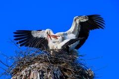 La danse des cigognes Photographie stock libre de droits