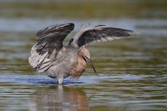 La danse rougeâtre de héron en tant qu'elle égrappe un poisson - la Floride images stock
